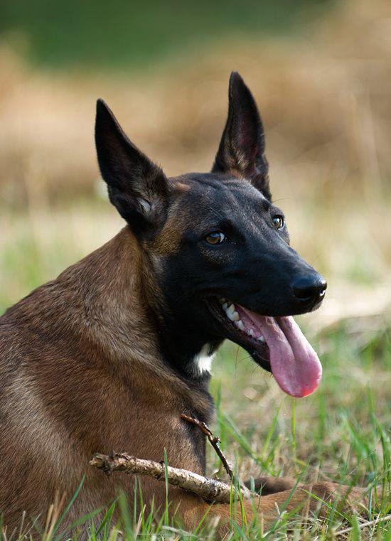 belgian malinois dog breeder california - Pure Malinois
