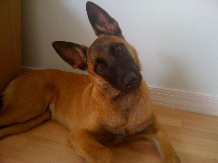 Belgian Malinois Puppy For Sale San Jose California – Pure
