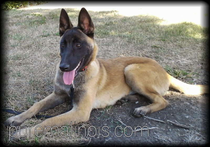 Beautiful Fawn Belgian Malinois Puppy With Full Dark Face