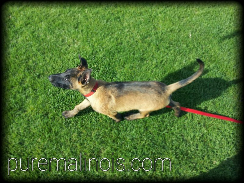 Belgian Malinois Cat Walk