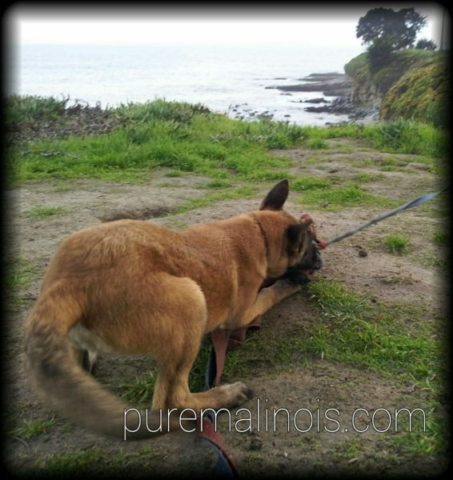 Belgian Malinois Puppy At The Edge Of The Ocean