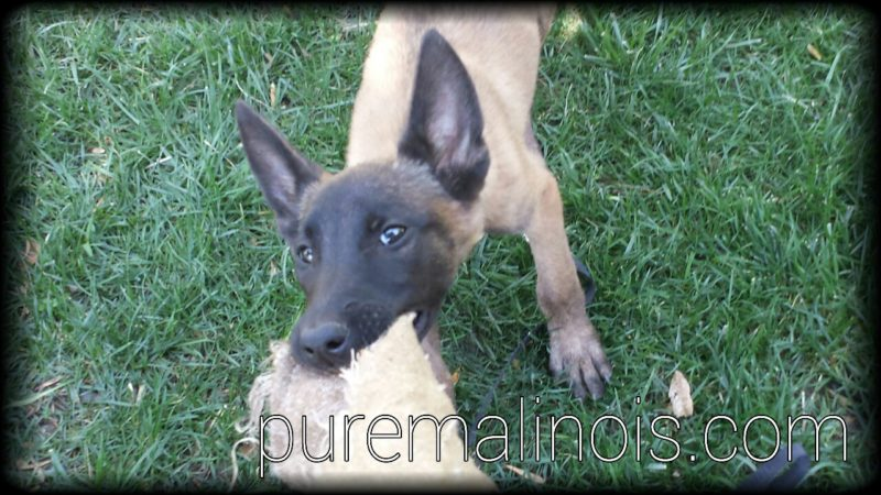 Belgian Malinois Puppy Biting The Rag While Keeping Eye Contact With The Handler
