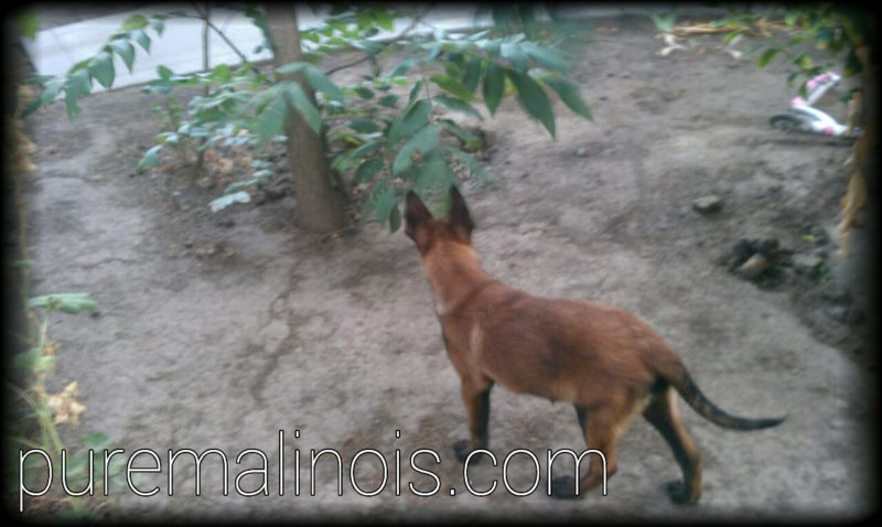 Belgian Malinois Puppy By The Garden