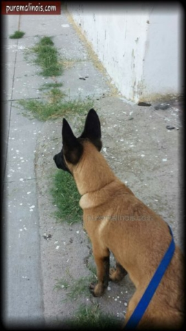 Belgian Malinois Puppy Caught In A Bad Neighborhood