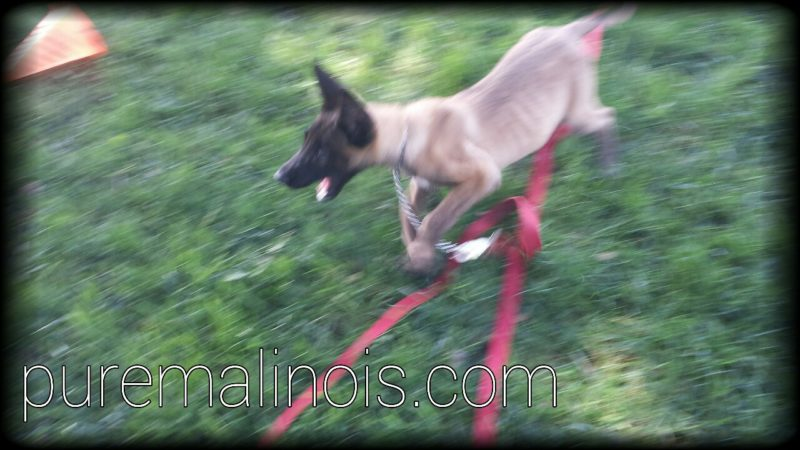 Belgian Malinois Puppy Caught In Action