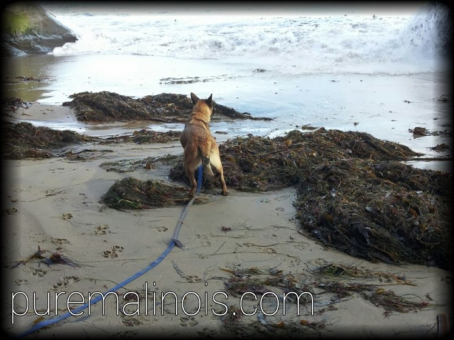 Belgian Malinois Puppy Ready To Run Away From The Raging Ocean Waves