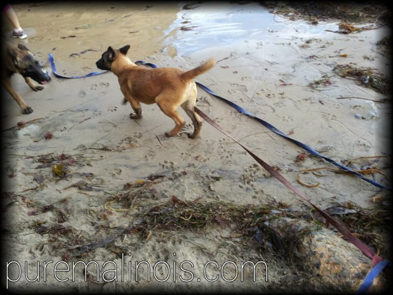 Belgian Malinois Puppy Running In The Sand