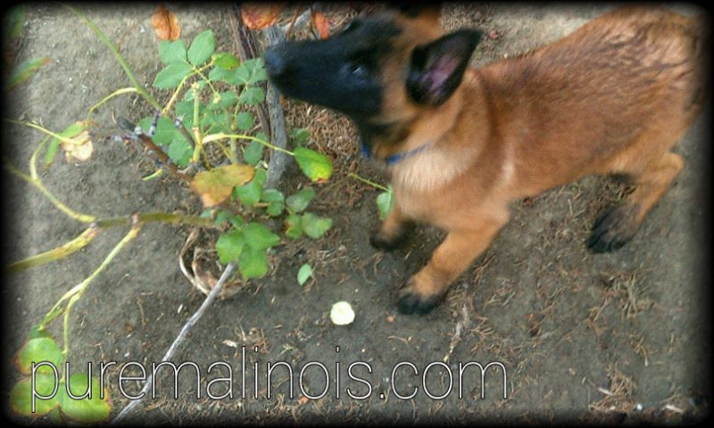 Belgian Malinois Puppy Smelling Plants In The Garden
