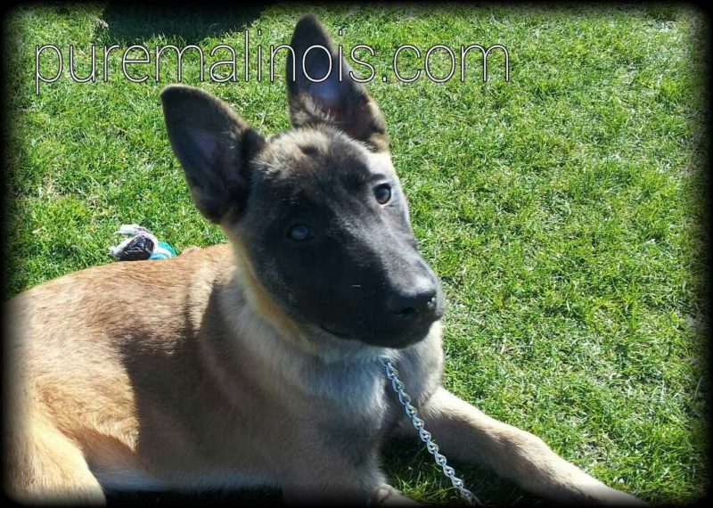 Belgian Malinois Puppy With Deep Look