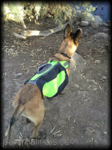 Belgian Malinois Puppy With Green Backpack During A Hike