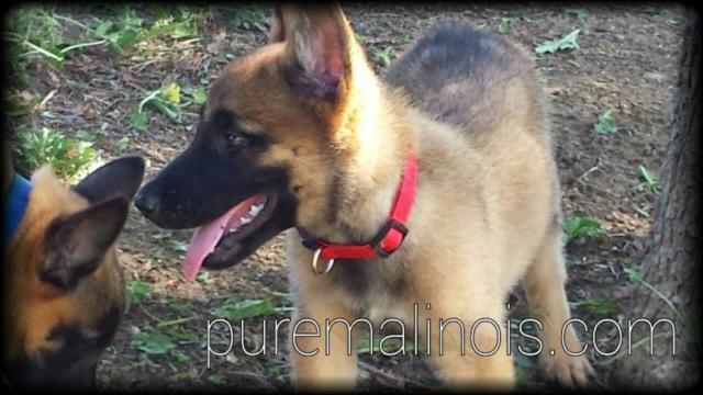 Belgian Malinois Puppy With Red Collar