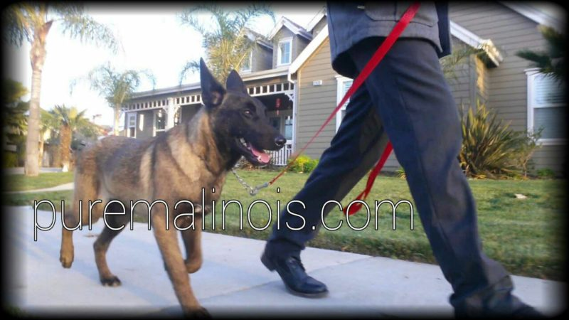 Belgian Malinois Walking In His Neighborhood