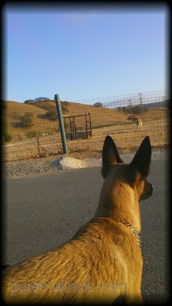 Fawn Coat Belgian Malinois Looking At Farm Animals