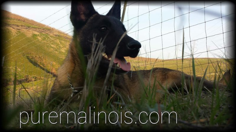 Low Angle Belgian Malinois