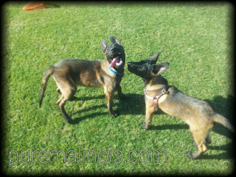 Two Belgian Malinois Puppies...One With His Tongue Out