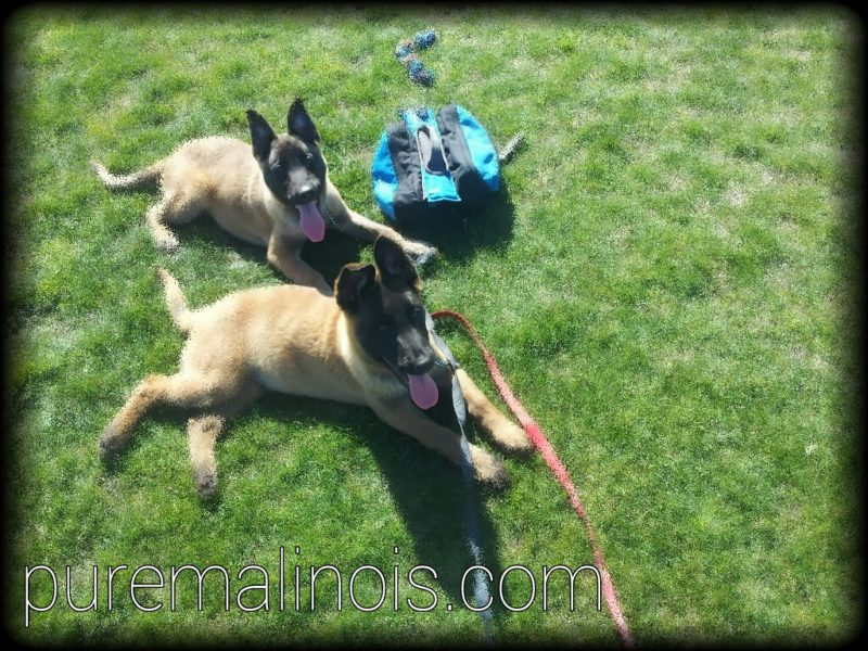 Two Fawn Belgian Malinois Puppies With Their Tongues Out