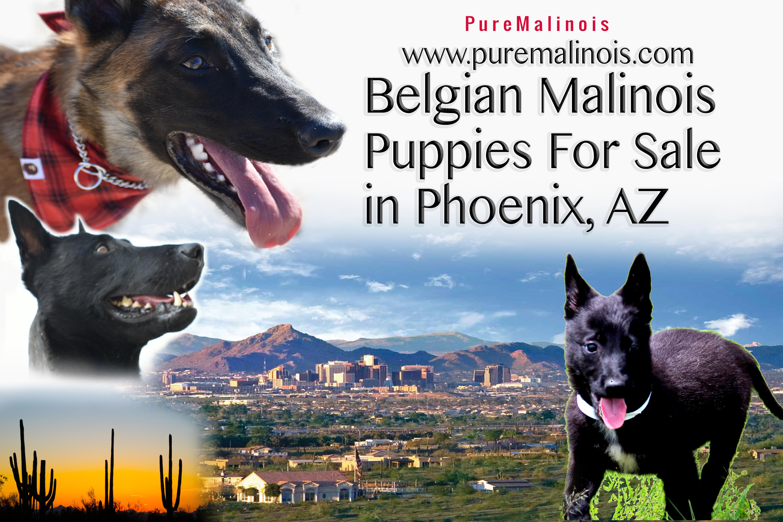 Belgian Malinois Puppies For Sale In Phoenix Arizona Pure Malinois